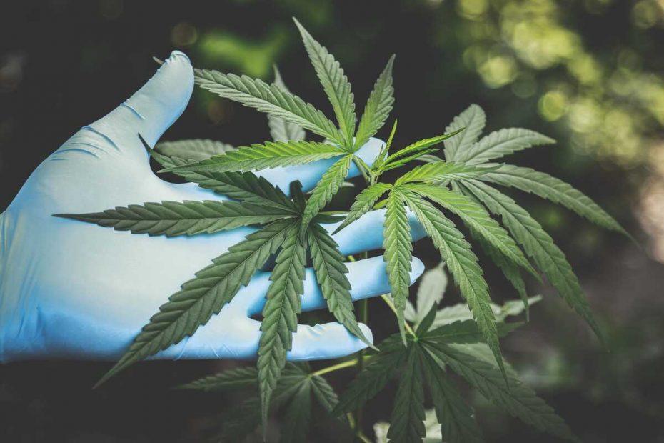 cannabis therapeutique